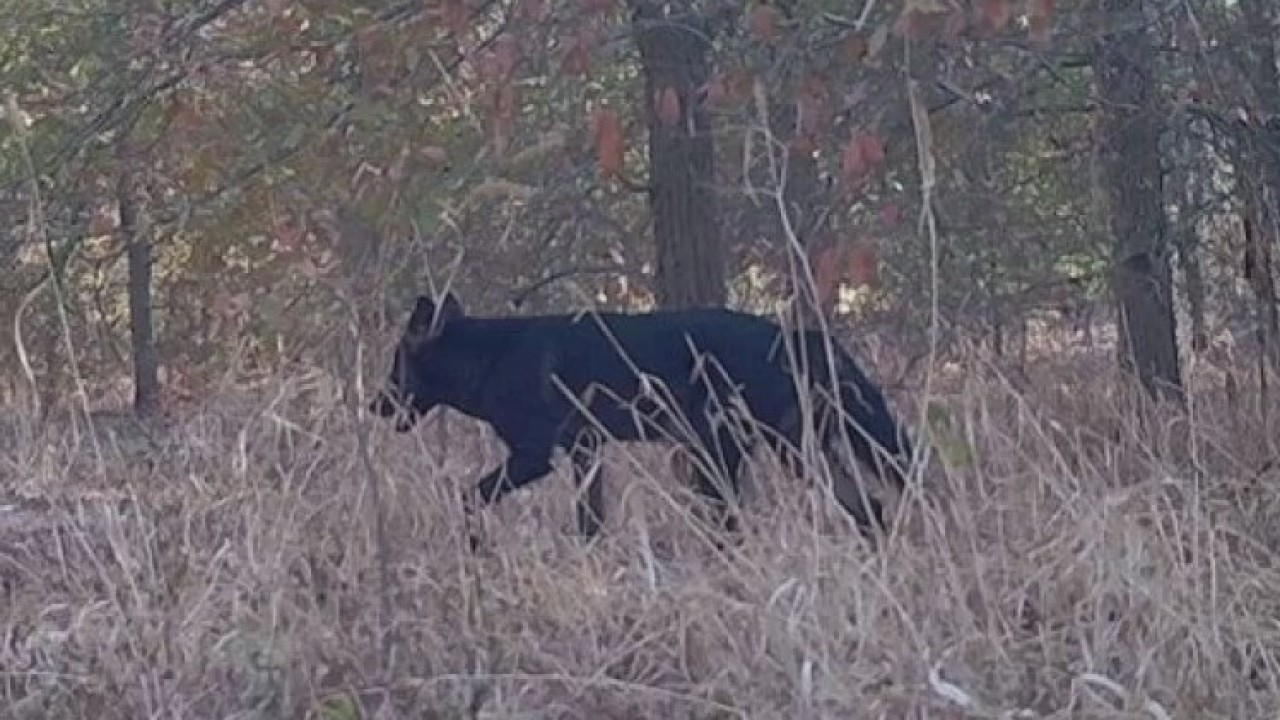 Rare black coyote sighted in Austin